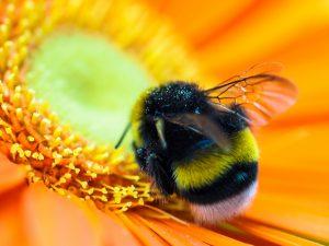 Hummel sitzt auf einer Blume