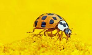 Marienkäfer sitzt auf einer Gelben Blume. Ratgeber wenn man ein Marienkäferhotel kaufen möchte.