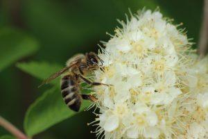 Biene sitzt auf einer Blume uns Sammelt Nektar. Ratgeber wenn Sie ein Bienenhotel kaufen möchten