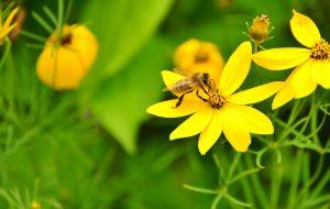Biene sitzt auf einer gelben Blume und Frisst