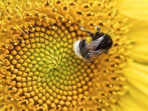 helle Erdhummel sitzt auf einer Gelben Blume