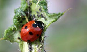 Marienkäfer sitzt auf einem Blatt und frisst Blattläuse