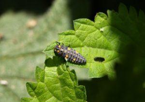 Marienkäfer Larve sitzt auf einem Blatt