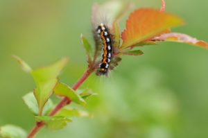 Schmetterlingslarve sitzt auf einem Blatt