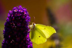 Zitronenfalter sitzt auf einer Blume
