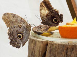 owl-butterfly-1583254